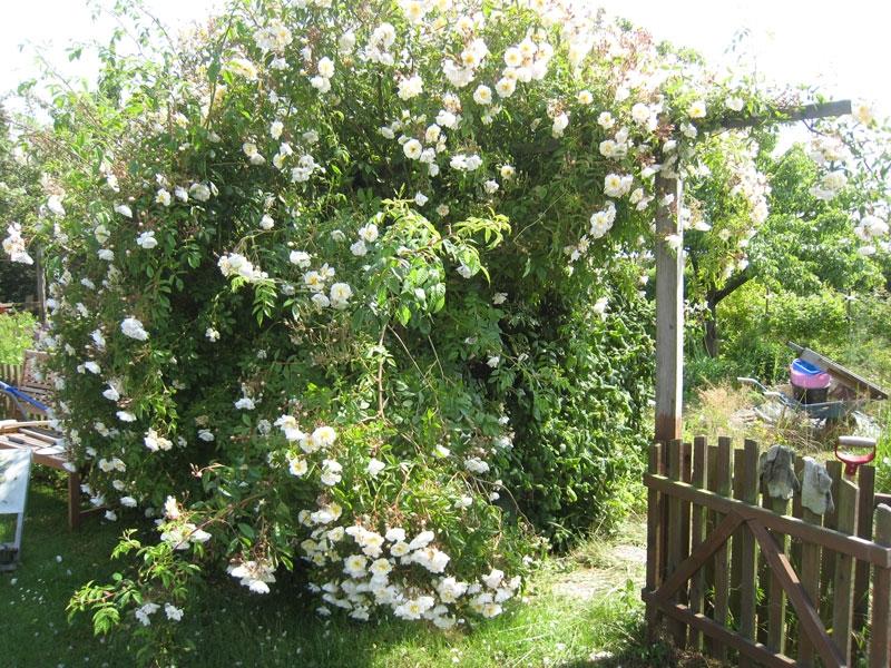 Her er en vild busk der trænger til lidt støtte fra et hjemmelavet